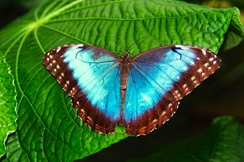 make a tropical blue morpho butterfly craft