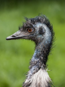 Emu Headshot- Kid World Citizen